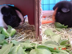 mr and miss cavy