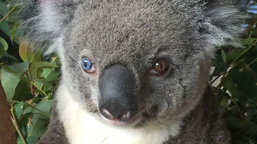 Rare Koala With Different Colored Eyes Steals the Hearts of Australian Vets - ABC News