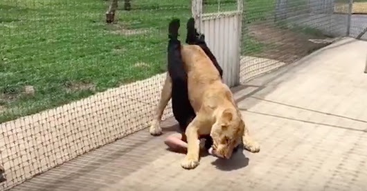 Incredible Footage Shows Lion Reuniting With First Adoptive Dad And Pinning Him To The Floor - Dog Bite Lawyer