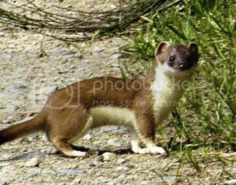 photo 03 Weasel Riding Woodpecker_zpshl86odwu.jpg