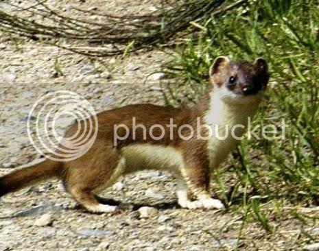 photo 03 Weasel Riding Woodpecker_zpshl86odwu.jpg