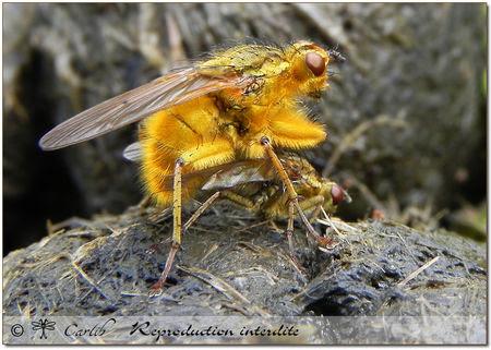 Scathophaga_stercoraria_P4085