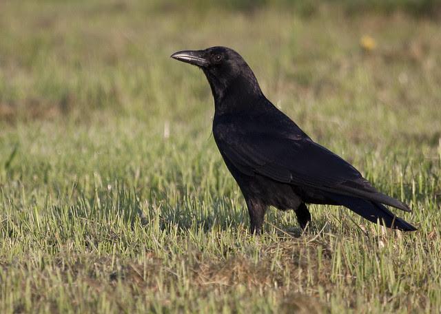 crow beauty
