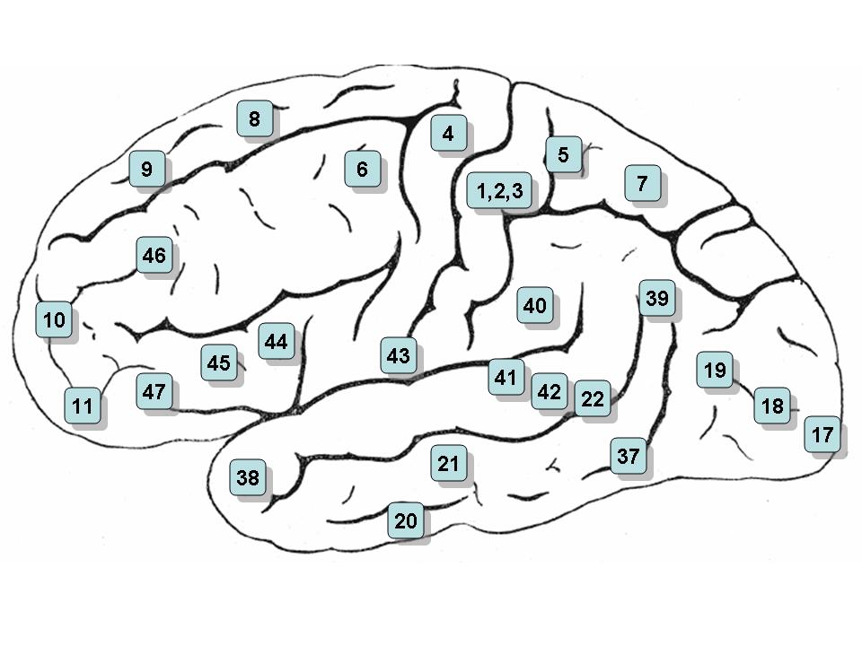 ブロードマンの脳地図