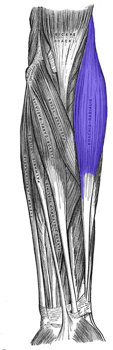 brachiradialis