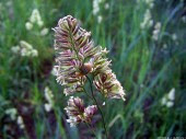 Meadow-grass, 2