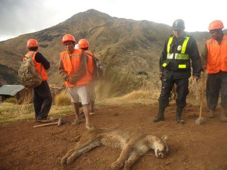 A - felino andino (puma) que en paz descanse