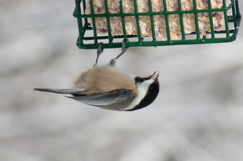 Black-capped chicadee (16 of 20).jpg