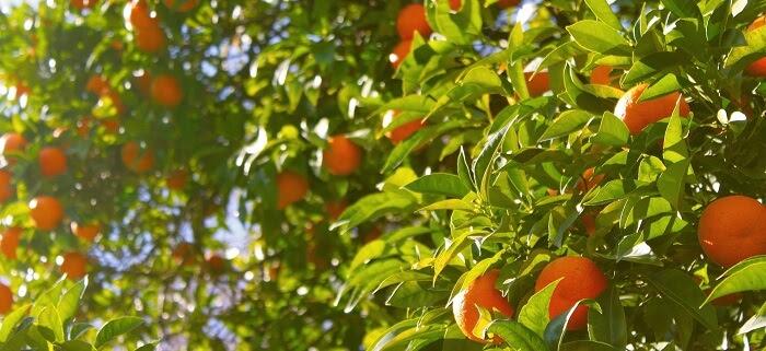 Mandalina Ağacı Nasıl Yetiştirilir