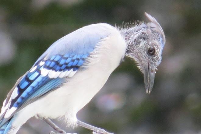 Why Is That Bird Bald Birdwatching
