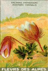 fleurs alpes 12