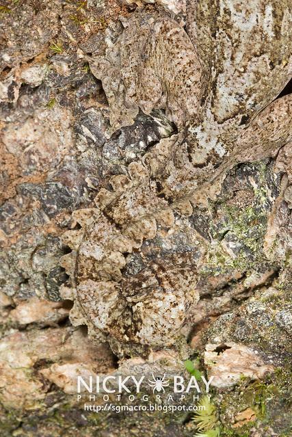 Kuhl's Flying Gecko (Ptychozoon kuhli) - DSC_9295
