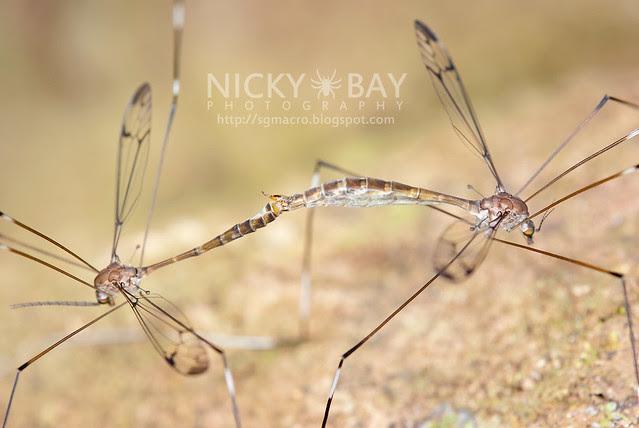 Crane Flies (Tipulidae) - DSC_4614