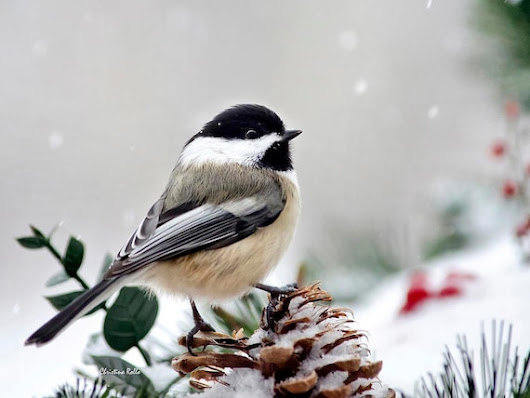 Winter Chickadee, Fine Art Photography, Chickadee Print, Wall Art, Photo Print, Bird Photography, Christmas Gift, Bird Art, Winter Decor