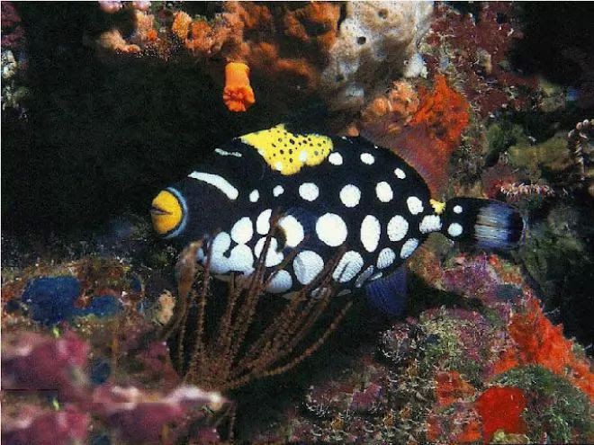 4. Clown Trigger Fish