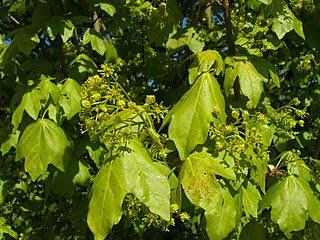 Acer camperstra