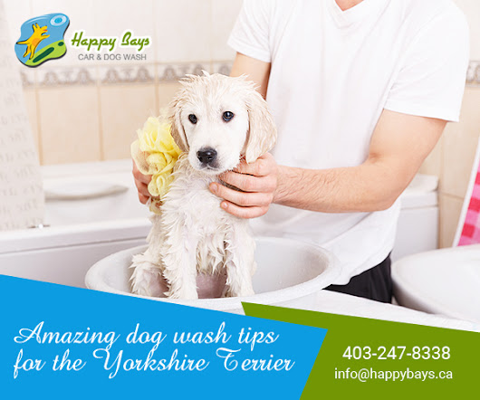 Amazing dog wash tips for the Yorkshire Terrier