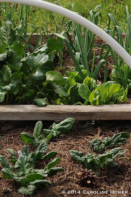 garden greens and garlic