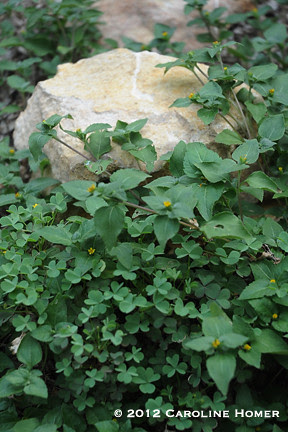 horseherb and oxalis