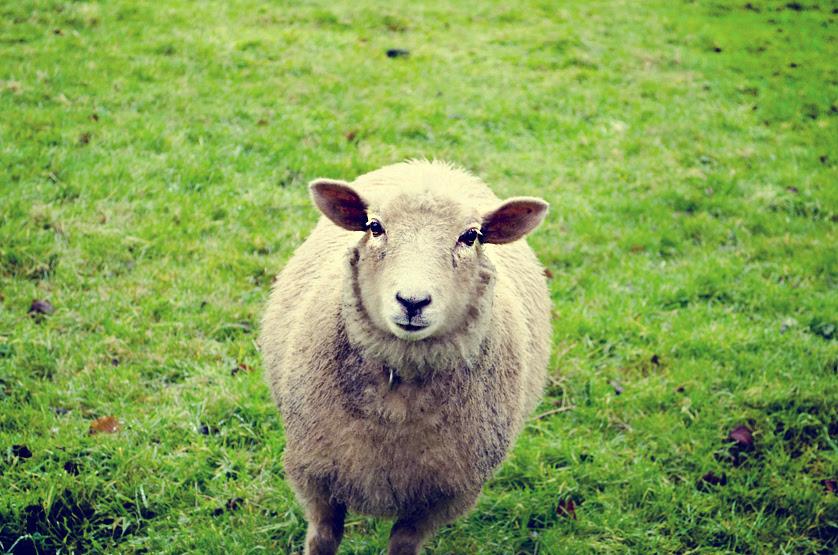 Image result for ewe