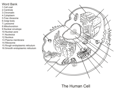 Human Cell Diagram Unlabeled ~ DIAGRAM