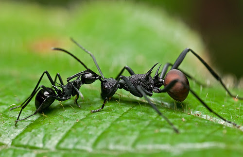 Two Polyrhachis spp. ants having an argument.... :D