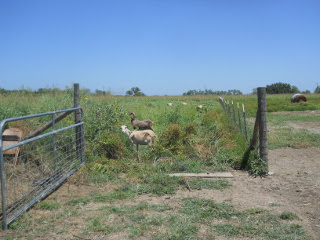 Goats Grazing in the Wheat Field
