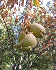 cal buckeye fruit
