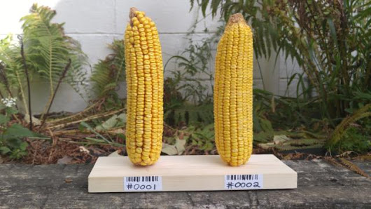 The GMO Corn Experiment