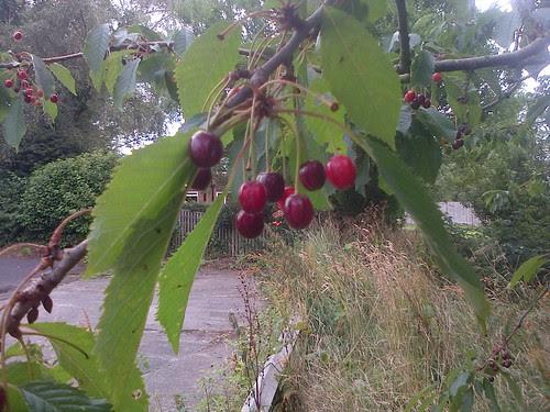 cherries Aug 13