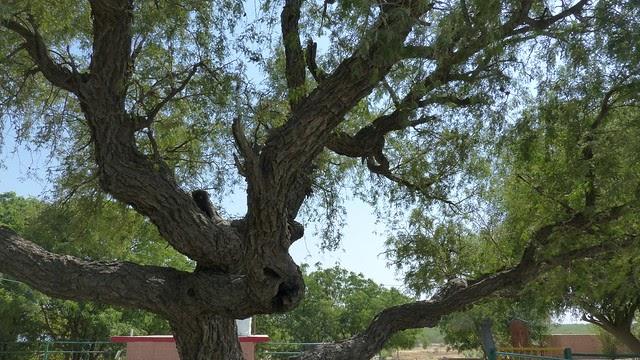 Prosopis cineraria - efloraofindia