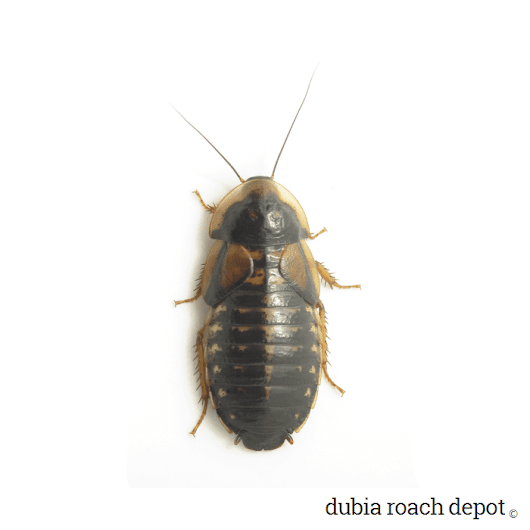 New Adult Female Dubia Roaches • Dubia Roach Depot
