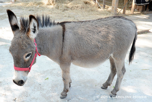 Julian the donkey