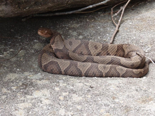 COPPERHEAD SNAKES: SOME FACTS and ANECDOTES - The Carolinian's Archives