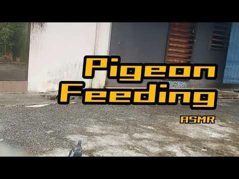 Pigeon Feeding | ASMR