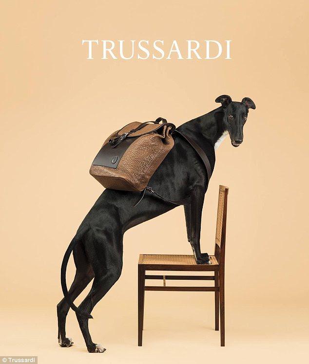 Origini storiche: Trussardi ha scelto il levriero sopra uso tradizionale del sig Wegman del Weimaraners perché il cane è la sua mascotte di lunga data