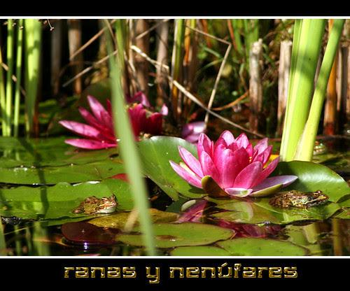 ranas sobre hojas de nenúfar