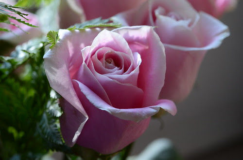 Day 315 - Pink Roses