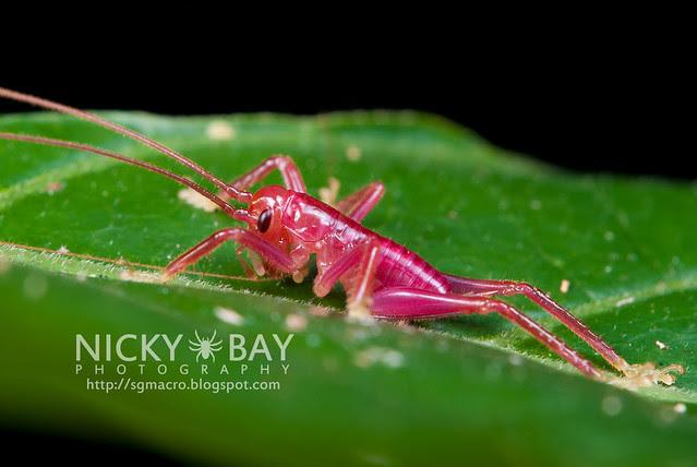 Pink Cricket - DSC_2062