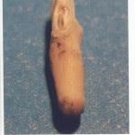 Chupacabra tooth