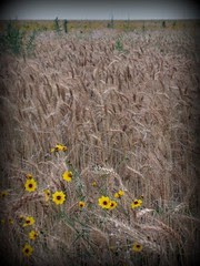 Weeds in the wheat