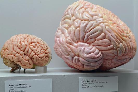 So wichtig ist ein großes Gehirn für den Erfolg