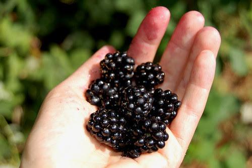 Handful of blackberries by Eve Fox copyright 2008