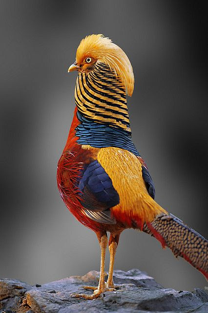 Male Golden Pheasant.