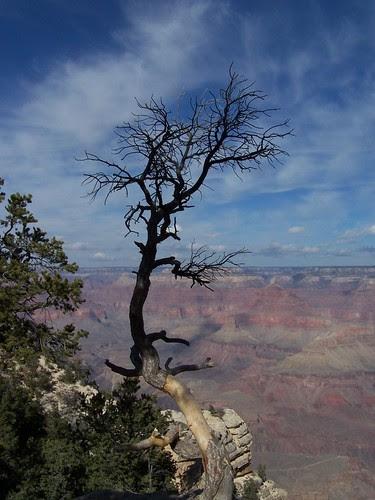 Lone tree at Grand Canyon