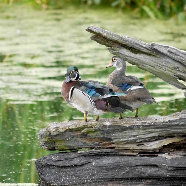 Ed Gaillard: birds &emdash; Wood Ducks, Turtle Pond