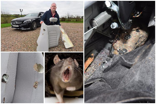 Swarm of RATS destroy an Irish couple's two-year-old Mercedes worth €50,000
