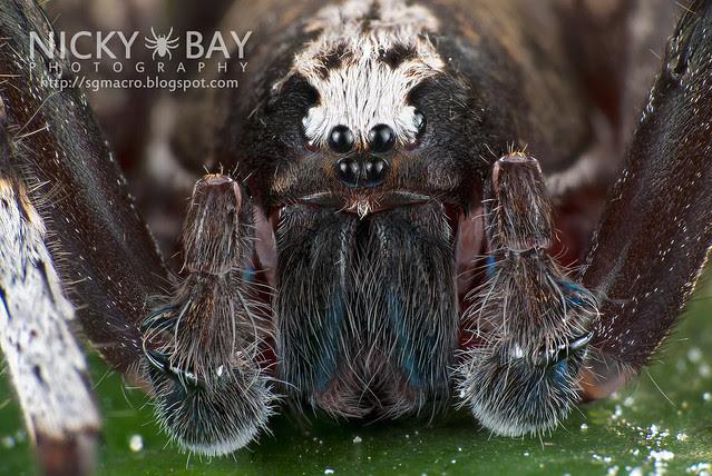 Wandering Spider (Ctenidae) - DSC_5853