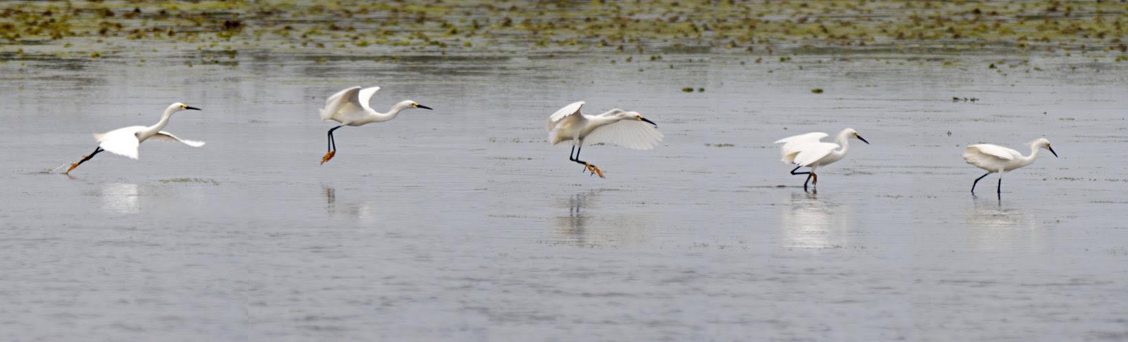 「egrets」的圖片搜尋結果