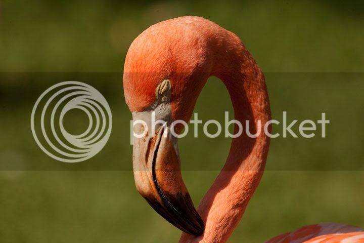photo _flamingo_zps50f13782.jpg